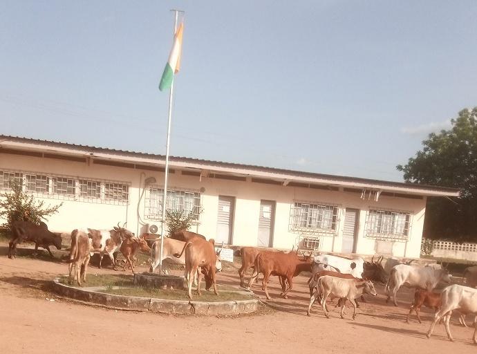 Des bœufs au lycée de Dabakala